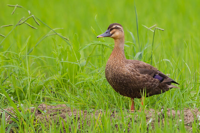Eastern Spot-billed Duck in rice fields - Kanagawa Prefecture, Japan