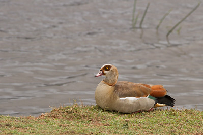 Egyptian Goose - Ngorongoro Crater, Tanzania