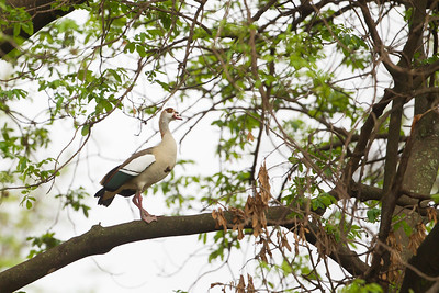 Egyptian Goose - Lake Manyara National Park, Tanzania