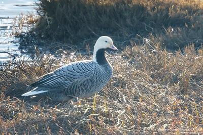 Emperor Goose - Pacifica, CA, USA