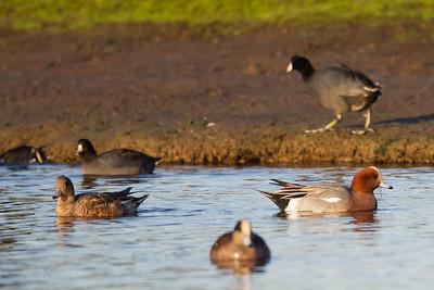 Eurasian Wigeon - Miller Knox Regional Shoreline, Richmond, CA, USA