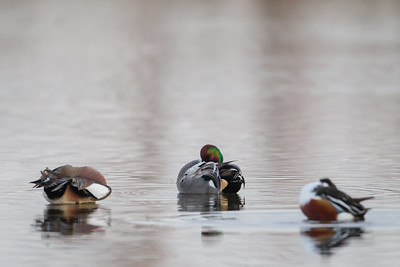 Preening Class (L to R)- American Wigeon, Falcated Duck & Northern Shoveler - Colusa NWR, CA, USA