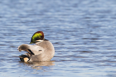 Falcated Duck - Colusa NWR, CA, USA