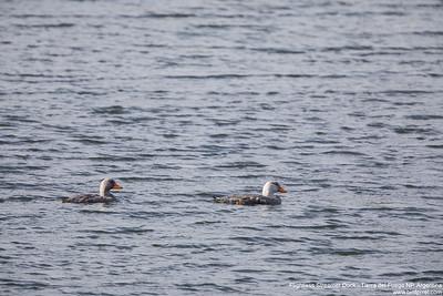Flightless Streamer Duck - Tierra del Fuego NP, Argentina