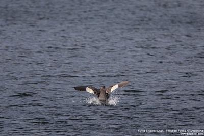 Flying Steamer-Duck - Tierra del Fuego NP, Argentina