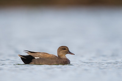 Gadwall - Male - Radio Road, Redwood City, CA, USA