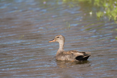 Gadwall - Female - Sierra Valley, CA, USA
