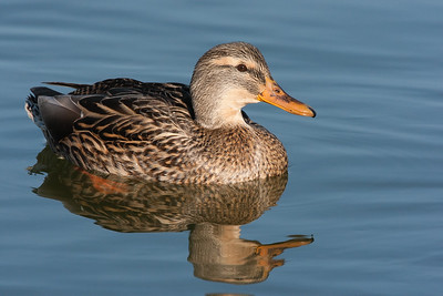 Gadwall - Female - Mountain View, CA, USA