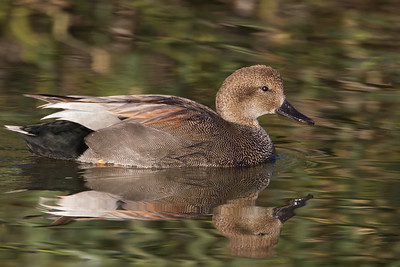 Gadwall - Shoreline Park, Mountain View, CA, USA