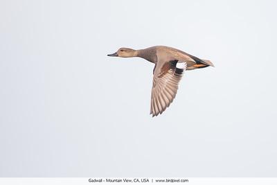 Gadwall - Mountain View, CA, USA