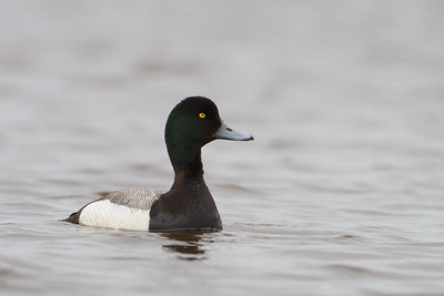 Greater Scaup - Nome, AK, USA