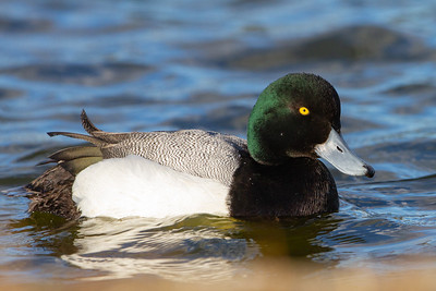 Greater Scaup - Palo Alto, CA, USA