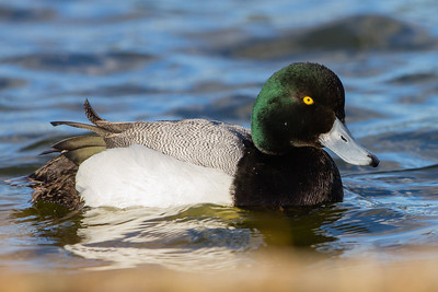 Greater Scaup - Palo Alto Baylands, Palo Alto, CA