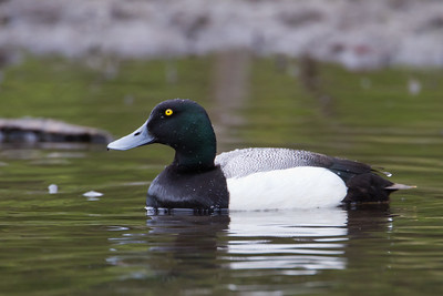Greater Scaup - Anchorage, AK, USA