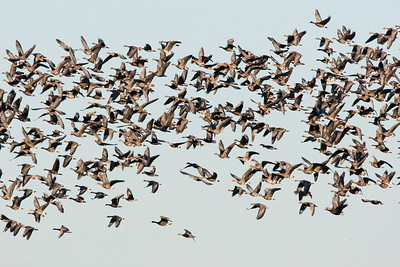 Greater White-fronted Geese in flight - Lodi area, CA, USA