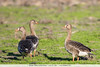 Greater White-fronted Geese - Lodi, CA, USA