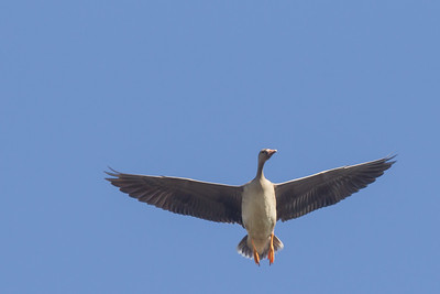 Greater White-fronted Goose - Bird Haven Ranch, Butte City, CA, USA