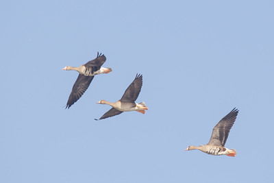 Greater White-fronted Geese - Bird Haven Ranch, Butte City, CA, USA