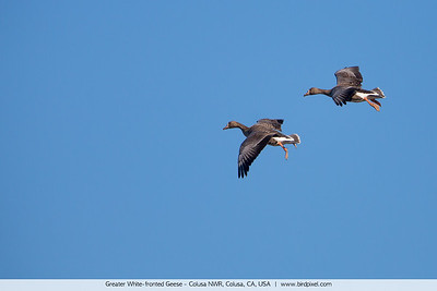 Greater White-fronted Geese - Colusa NWR, Colusa, CA, USA