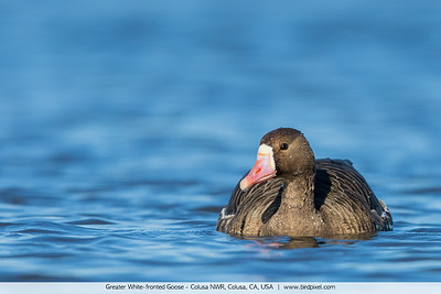 Greater White-fronted Goose - Colusa NWR, Colusa, CA, USA