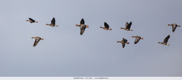 Greater White-fronted Goose - CA, USA