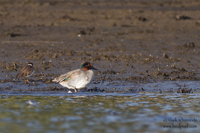 Green-winged Teal - Aswan, Egypt