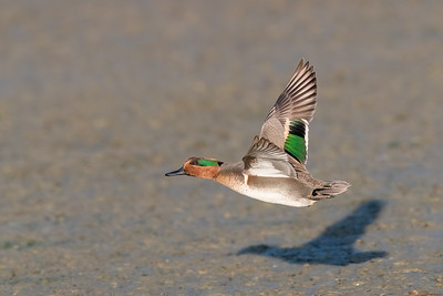 Green-winged Teal - Mountain View, CA, USA