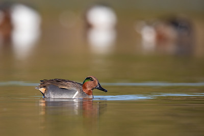 Green-winged Teal - AZ, USA
