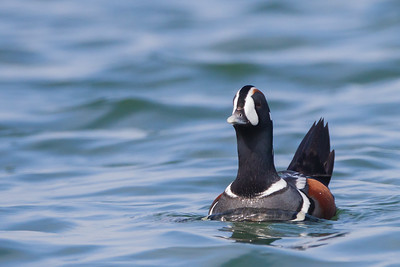 Harlequin Duck - Point Richmond, CA, USA