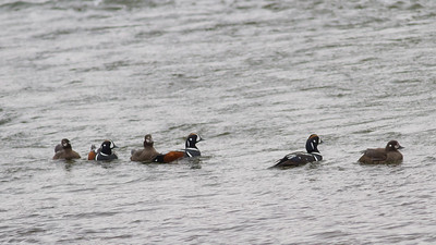 Harlequin Ducks - Nome, AK, USA