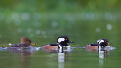 Hooded Merganser - Lloyd Lake, San Francisco, CA, USA
