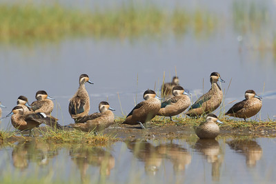 Hottentot Teal - Lake Nakuru National Park, Kenya