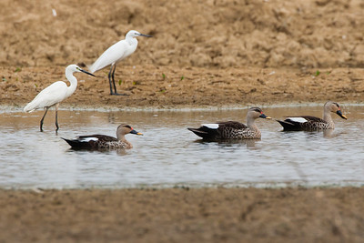 Indian Spot-billed Ducks &  Intermediate Egrets - Kutch, Gujrat, India