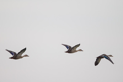 Indian Spot-billed Ducks in flight - Ambazari backwaters, Nagpur, India