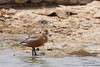 Lesser Whistling Duck - Kutch, Gujrat, India