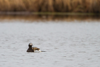 Long-tailed Duck - Nome, AK, USA