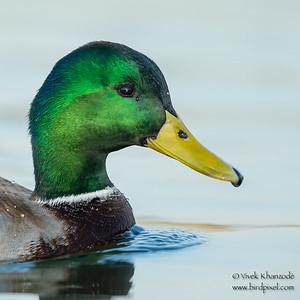 Mallard - Male - Shoreline Park, Mountain View, CA, USA