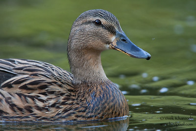 Mallard - Female - Sunnyvale, CA, USA