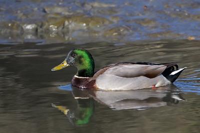 Mallard - Male -  Bedwell Bayfront Park, Menlo Park, CA, USA