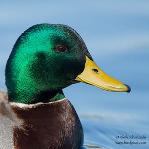 Mallard - Male - Palo Alto Duck Pond, Palo Alto, CA, USA