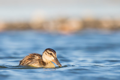 Mallard chick - Redwood Shores, CA, USA