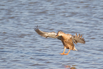 Female Mallard in flight - Palo Alto, CA, USA