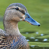 Mallard (female portrait) - Sunnyvale, CA, USA