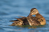 Mallard hen preening - Radio Road, Redwood City, CA, USA