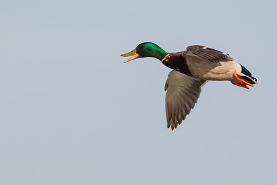Mallard - Male - Radio Road Ponds, Redwood City, CA, USA
