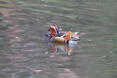 Mandarin Duck - Tokyo, Japan