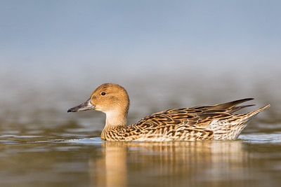Northern Pintail - Female - Radio Road, Redwood City, CA, USA