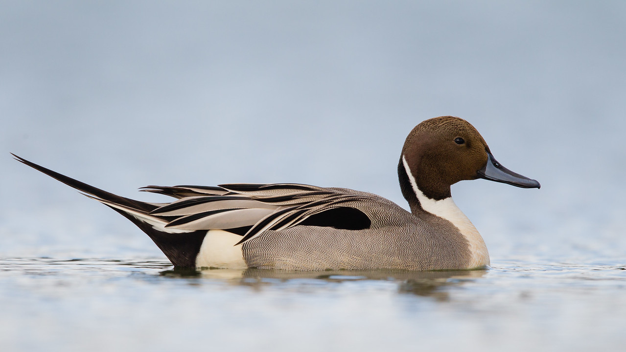 Northern Pintail - Male - Radio Road, Redwood City, CA, USA