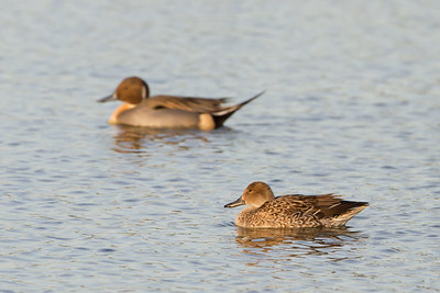 Northern Pintail - Radio Road, Redwood City, CA, USA