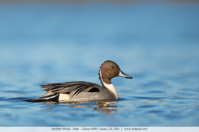 Northern Pintail - Male - Colusa NWR, Colusa, CA, USA